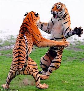 Your Kung Fu is no match for my tiger style! Giant cats ...