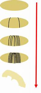 Which Of The Following Is Not A Body Segment Of The Fruit Fly Embryo