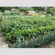 Historical Veggie Facts  Suttons Gardening Grow How