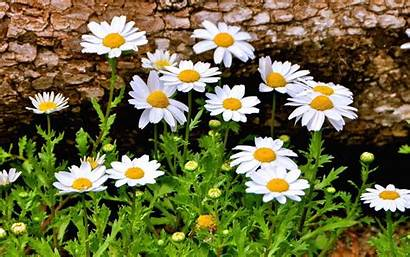 Daisy Flower Flowers Wallpapers Daisies Field Desktop