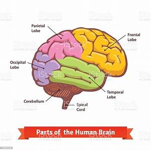 Colored And Labeled Human Brain Diagram Stock Illustration - Download Image Now