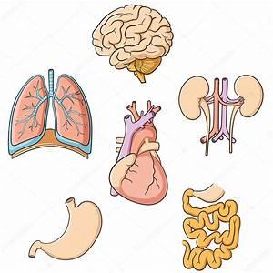 Brain Lungs Heart Kidney Stomach  U0026 Intestines  U2014 Stock