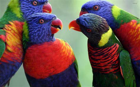Rainbow Animal Wallpaper - rainbow lorikeets meeting wallpaper animal wallpapers