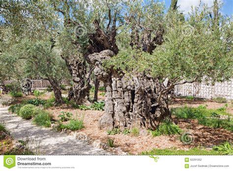 Der Garten Der Qualen by Jerusalem Der Sehr Alte Olivenbaum Im Garten Vor Kirche