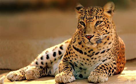 leopard animal hd desktop wallpapers  hd