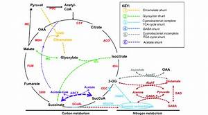 Natural Tricarboxylic Acid  Tca  Cycle Variants The Classical Tca Cycle