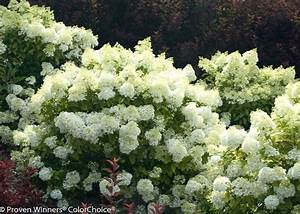 Hydrangea Paniculata Bobo : hydrangea paniculata 39 ilvobo 39 bobo ~ Michelbontemps.com Haus und Dekorationen