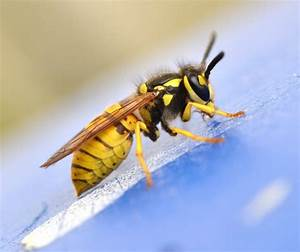 Feldwespen Nest Entfernen : ouch stinging insect allergies windom allergy asthma sinus ~ Frokenaadalensverden.com Haus und Dekorationen