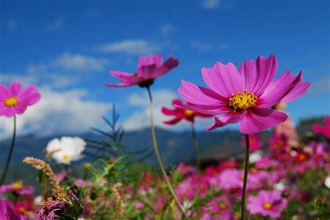 flower cosmos blue sky  photo  pixabay