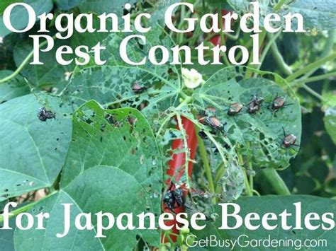 Tips For Controlling Japanese Beetles In Your Garden