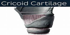 Cricoid Cartilage