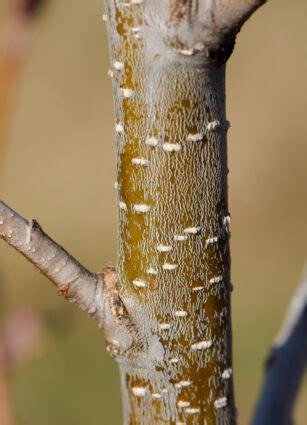 alnus incana lenticels betulaceae speckled alder dodge