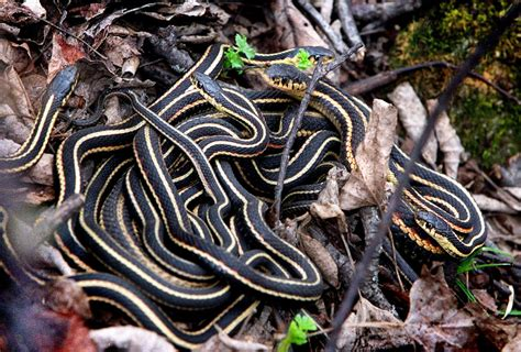 saskatchewan hospital evicts garter snakes toronto star