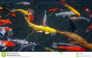 Goldfische Im Teich : goldfische stockfoto bild 61004420 ~ Eleganceandgraceweddings.com Haus und Dekorationen