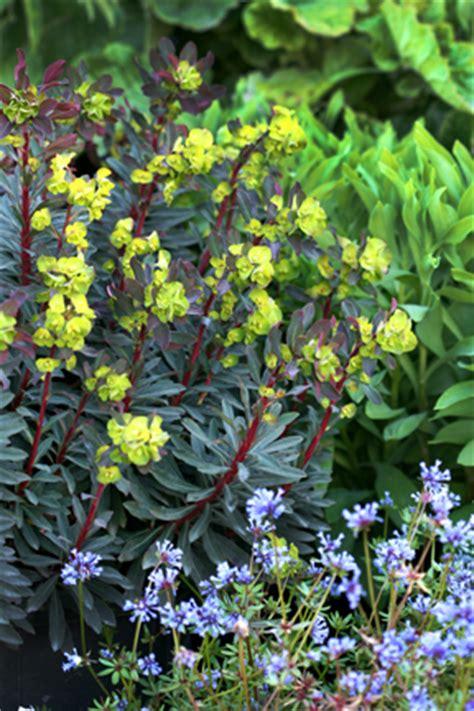 purple spurge euphorbia amygdaloides purpurea purple wood spurge