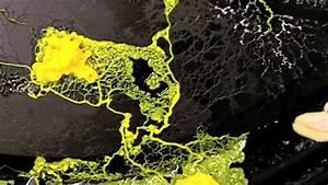 plasmodial slime mold (Physarum polycephalum) - YouTube