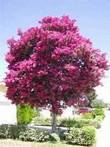 Kleine Bäume Bis 3m : lagerstroemia indica rosa bl te indische lagerstr mie ~ Articles-book.com Haus und Dekorationen