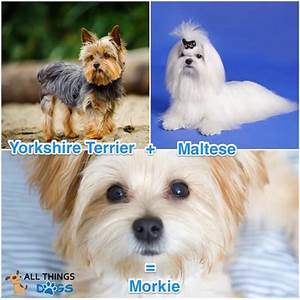 Morkie Dog Complete Guide To Maltese Yorkie Mix All