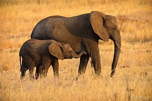 Mom and baby elephant Photograph - Fine Art Prints by Adam ...