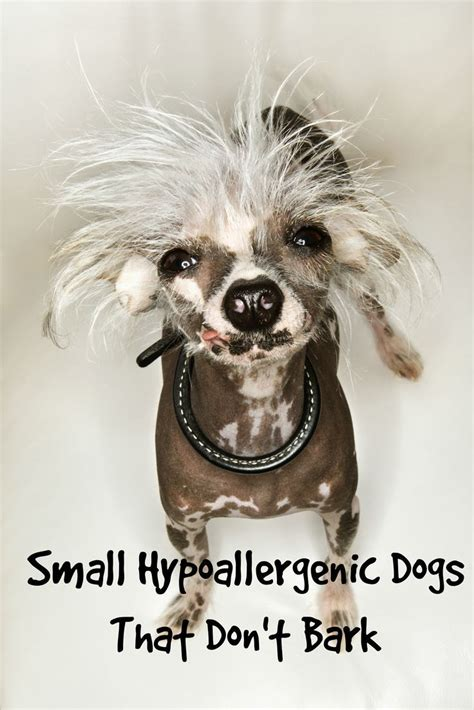 What Dogs Dont Shed Or Bark by 25 Best Ideas About Small Hypoallergenic Dogs On