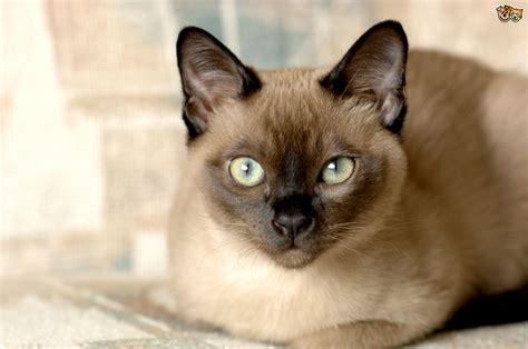 tonkinese fluffy cat breeds hope elephants