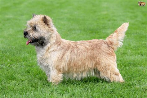 Small Non Shedding Dogs Uk by Norwich Terrier Dog Breed Information Buying Advice