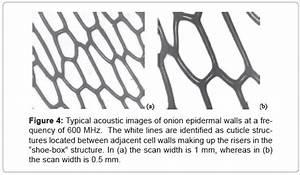 Diagram Three Adjacent Onion Epidermal Cells