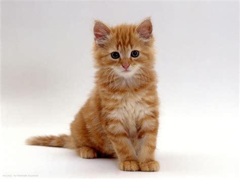 8 Weeks Fluffy Ginger Male Kitten Domestic Cat Hd