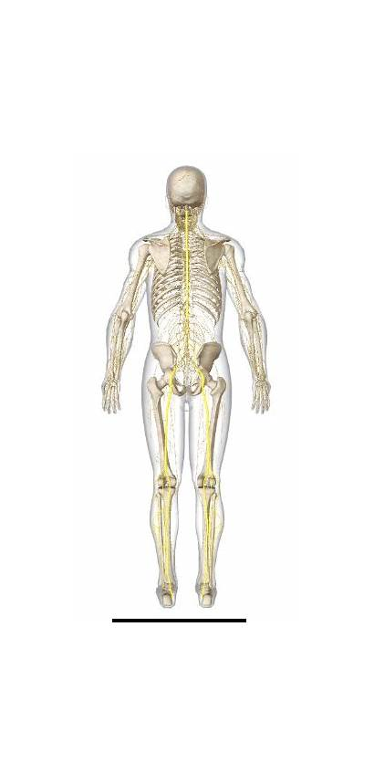 Sciatica Nerve Sciatic Lower Spine Nervous System