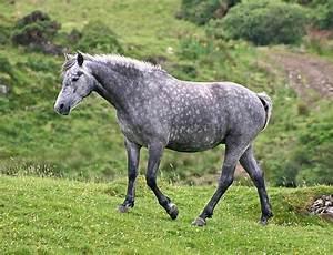 Combien De Chevaux : robe grise du cheval wikip dia ~ Medecine-chirurgie-esthetiques.com Avis de Voitures