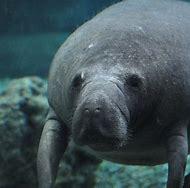 Cincinnati Zoo Manatees