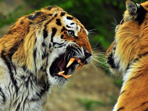 wild animal fights   photo