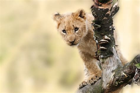 Free Photo Lion, Animal, Nature, Predator  Free Image On