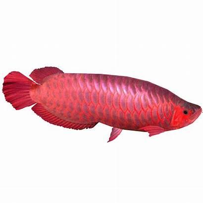 Arowana Fish Silver Tank Diet Arowanas Appearance