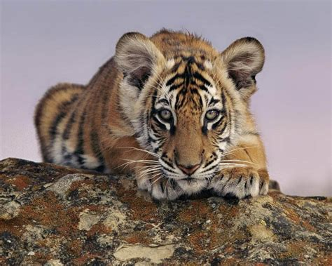 bureau disparu poachers dangerous to royal bengal tigers greener ideal