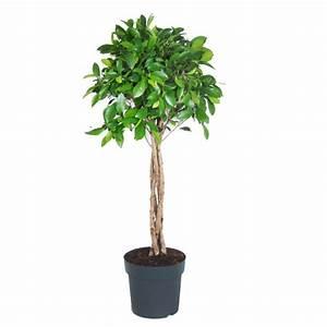 Arbuste D Intérieur : ficus nitida avec tronc tress en pot de 24cm hauteur ~ Premium-room.com Idées de Décoration