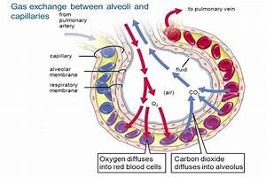 Mechanism Of Respiration In Human