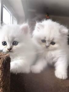 Pure white chinchilla Persian kittens for sale | in ...