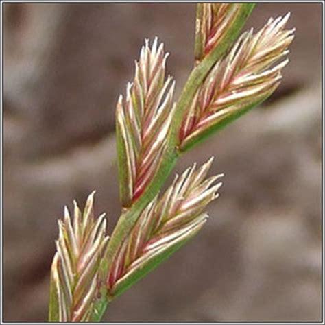 irish grasses perennial rye grass