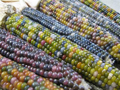 glass gem sweet corn the story of glass gem corn sacred ecology