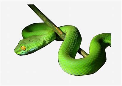 Snake Tree Clipart Branch