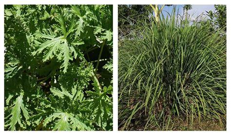 do citronella plants really repel mosquitoes do citronella plants repel mosquitoes the truth about using citronella