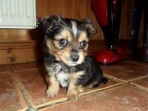 Chorkie (Yorkie-Chihuahua mix) Info, Temperament, Puppies ...