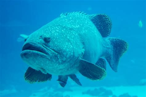 grouper fish giant looking groupers diver goliath groper tangible ginsburg aren royalty object preview