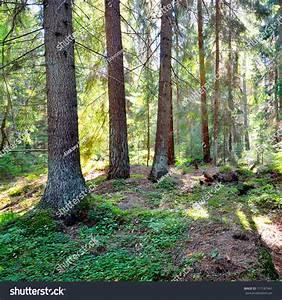 Dark Pine Forest Scene Stock Photo 117187441 - Shutterstock