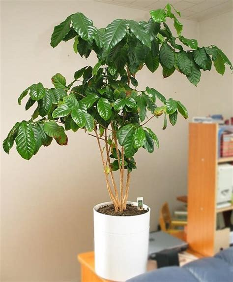 Money trees are safe for pets, so this is a good plant to try if you have furry friends around. How to Grow a Coffee Plant | Care and Growing at Home