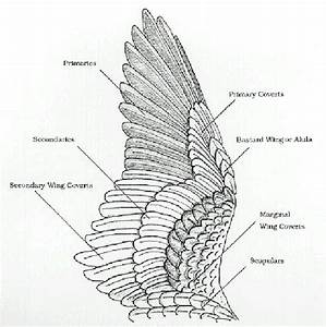 Bird Wing Anatomy Diagram Search Pictures Photos