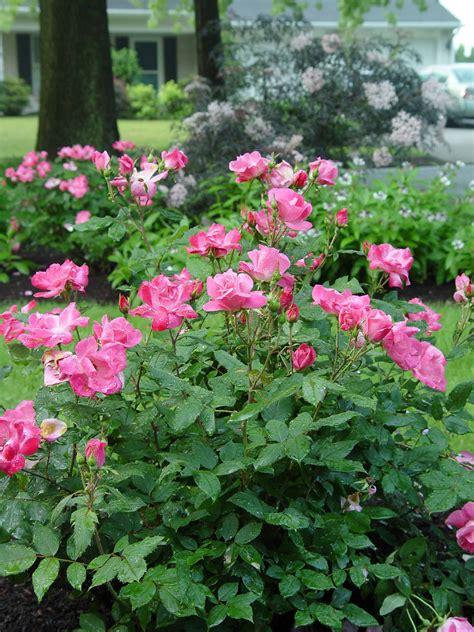 shrub roses garden oscars garden housecalls