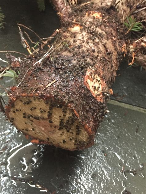 Christmas Tree Aphids d c woman finds unpleasant surprise in christmas tree wtop
