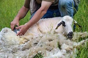 Tondre La Pelouse Sans Ramasser : a d al adha 2014 combien vous co te cette ann e votre mouton ~ Melissatoandfro.com Idées de Décoration